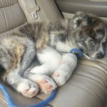 Puppy napping in the car