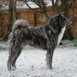 Gokkai in the snow February 2020
