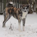 Senka in the snow